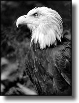 Black and White Picture Bald Eagle, Alaska