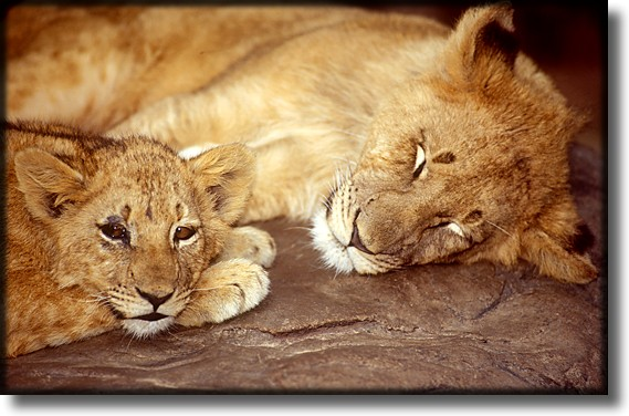 Color photograph of a lioness and her cub