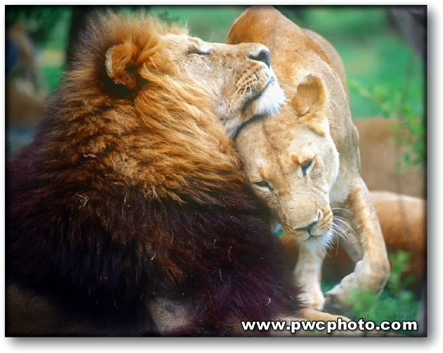 Color photograph of a lion and his lioness