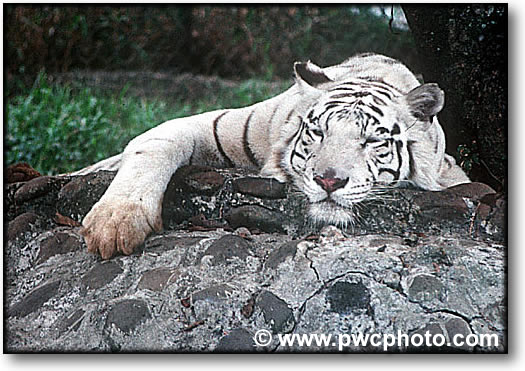 Color photograph of a white tiger
