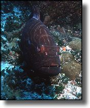 Picture of Grouper, Grand Cayman Island