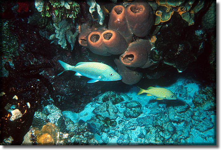 Picture of sponge and fish, Cozumel, Mexico