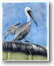 Photo of Californa Brown Pelican, hand painted image