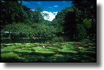 Picture of Giant Lilly Pads